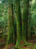 Myrtle Beech (Nothofagus Cunninghamii) in Mersey Valley Rainforest  Tasmania  Australia