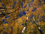 Aspen Trees  Aspen  Colorado  USA