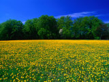Carpet of Dandelions in Kullaberg  Skane  Sweden