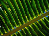 Detail of Palm Leaf Frond  Cook Islands