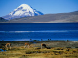 Vicuna along Shoreline of Lago Chungara with Volcano Sajama in Background  Lauca Nat Park  Chile