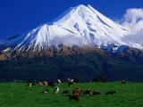 Cattle Graze Beneath the Dormant Volcano Mt Taranaki  or Egmont  Taranaki  New Zealand