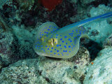 The Blue-Spotted Stingray (Taeniura Lymma)  Red Sea  Egypt