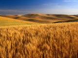 Wheat Fields  Palouse  USA