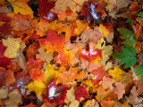 Snow on Autumn Leaves Near Heart Lake in the Adirondak Mountains in Upstate New York  USA