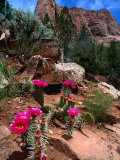 Simpson Hedgehog Cactus  Kolob Canyon  Zion National Park  USA