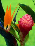 Bird of Paradise Flower at the Foster Botanic Garden Honolulu  Oahu  Hawaii  USA