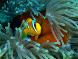 Red Sea Anemonefish(Amphiprion Bicinctus)  Red Sea and Gulf of Aden  Egypt