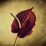 Crimson Anthurium
