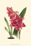 Amaryllis Blooms III