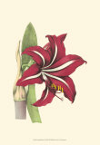 Amaryllis Blooms I