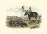 Moose Deer