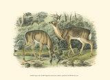 Virginian Deer