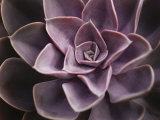 Echeveria I
