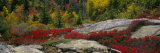 Flowers on Rocks, Acadia National Park, Maine, USA Papier Photo par Panoramic Images