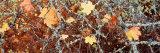 Maple Leaves  British Columbia  Canada