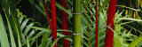 Bamboo Trees  Hawaii  USA