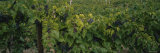 Bunch of Grapes in a Vineyard  Hammondsport  Lake Keuka  Finger Lakes  New York State  USA