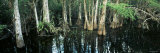 Cypress Trees Growing in Water  Big Cypress National Preserve  Florida  USA