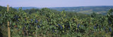 Bunch of Grapes in a Vineyard  Finger Lakes Region  New York State  USA