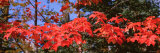 Red Leaves on a Tree  Keweenaw Peninsula  Copper Harbor  Michigan  USA
