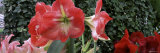 Amaryllis Flowers  Botanical Gardens of Buffalo and Erie County  Buffalo  New York  USA