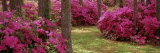 Azaleas in a Forest  Crawfordville  Florida  USA