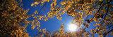 Aspen Tree Leaves  Deerlodge National Forest  Montana  USA