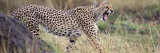 Cheetah Walking in a Field