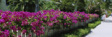 Azaleas on a Picket Fence along a Sidewalk  Boca Grande  Gasparilla Island  Florida  USA