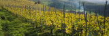 Vineyards  Peidmont  Italy