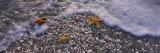 Three Starfish on the Beach  Gulf of Mexico  Florida  USA