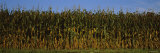 Corn Crop in a Field  Wisconsin  USA