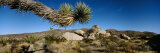 Branch of a Joshua Tree  Mojave Desert  Joshua Tree National Monument  California  USA