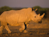 White Rhinoceros Walking  Etosha National Park  Namibia