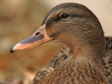 Female Mallard Head Close-Up  USA