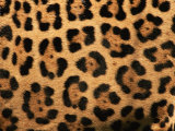 Close-Up of Jaguar Cat Coat 