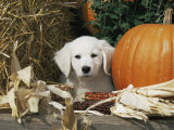 Golden Retriever Puppy (Canis Familiaris) Portrait with Pumpkin