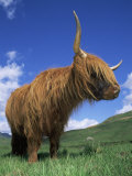 Domesticated Highland Cow  Aberfoyle  Argyll  Scotland  UK