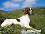 Springer Spaniel  Scotland  UK