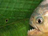 Piranha  Pantanal  Brazil