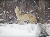 Portrait of Grey Wolf Howling in the Snow