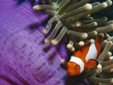 False Clown Anemonefish in Anemone Tentacles  Indo Pacific