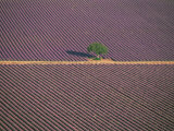 Aerial View of Tree in Lavender Field  Baronnies  Provence  France