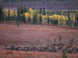 Reindeer Migration Across Tundra  Kobuk Valley National Park  Alaska  USA  North America