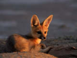 Cape Fox  Kalahari Gemsbok National Park  S Africa