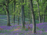 Bluebells Flowering in Oak Wood  Scotland  Peduncluate Oaks (Quercus Robur)