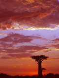 Baobab Silhouette at Sunset  Morondava  Madagascar