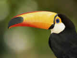 Toco Toucan  Close-Up of Beak  Brazil  South America