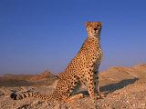 Cheetah  Tsaobis Leopard Park  Namibia